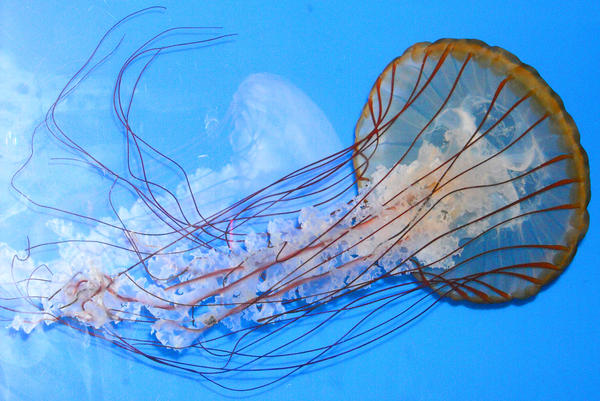 jelly fish by najojo