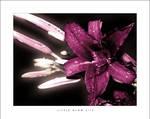 Little Glow Lily