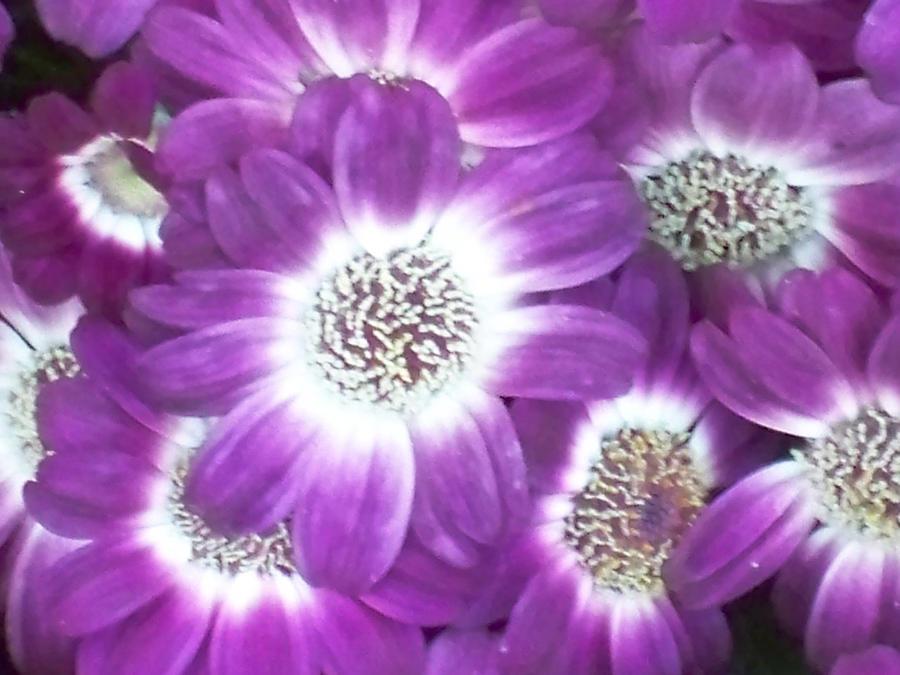VIOLET Purple_Haze_by_UvGirl