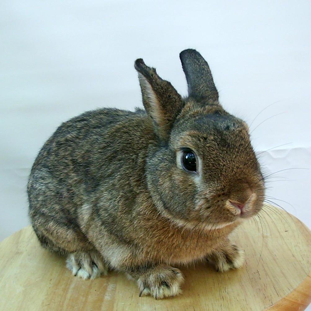 chestnut bunny 3 by shnarfle-stock
