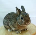 chestnut bunny 3