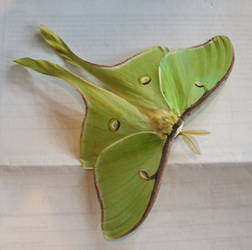 luna moth by shnarfle-stock