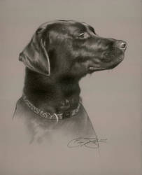 Chocolate Lab Portrait by golfiscool