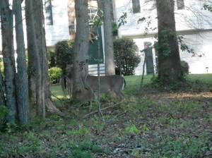 deer in my mom's neighborhood