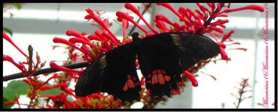 Black and pink Butterfly by mancunian16