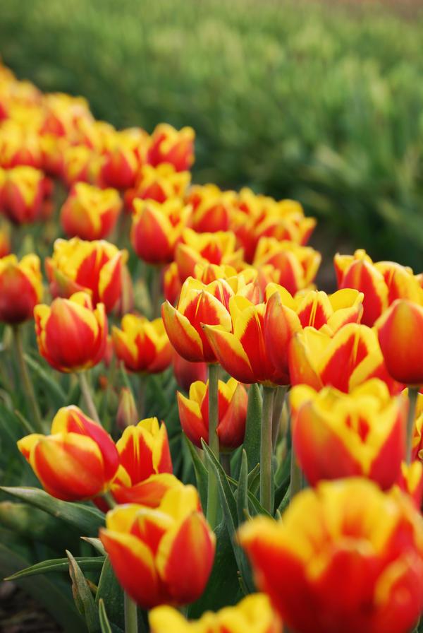 Tulip Garden by foreverbeginstoday