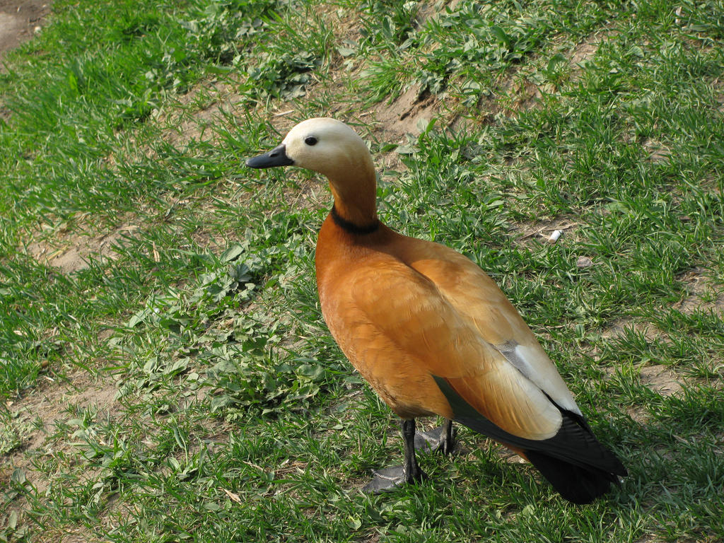 Duck by DeingeL