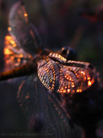 Wing of a Dragonfly