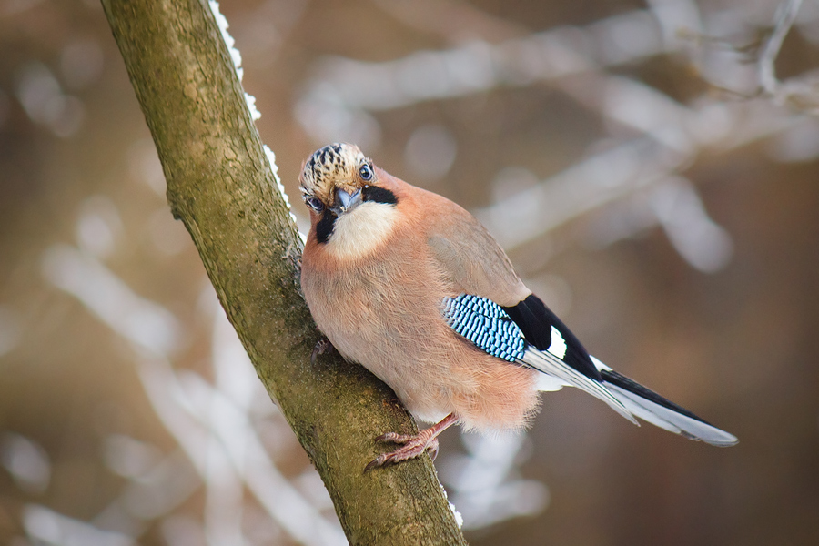 The Jay by DeingeL
