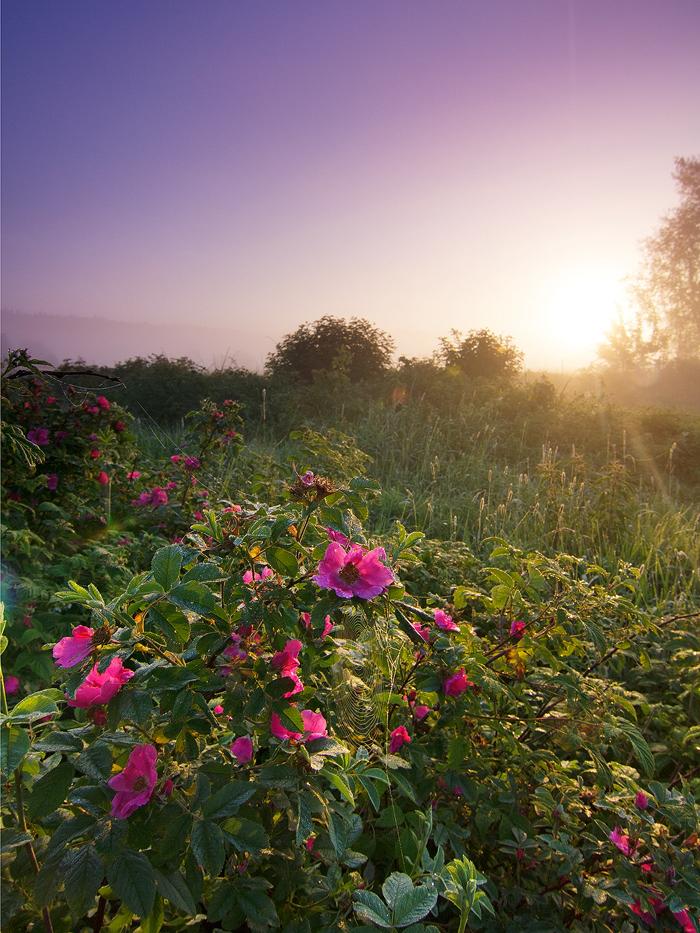 Morning roses by DeingeL