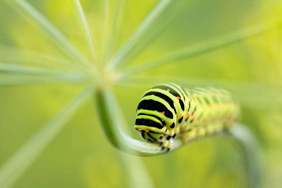 Papilio by DeingeL