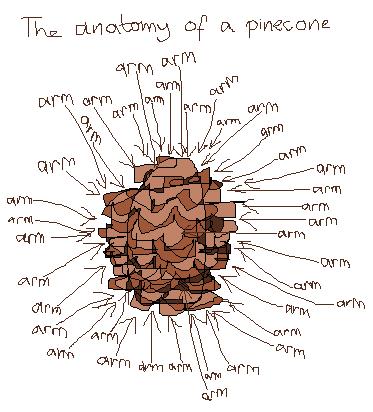 Pine cone anatomy