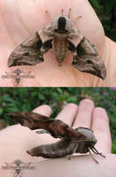 Moth by dream-whizper
