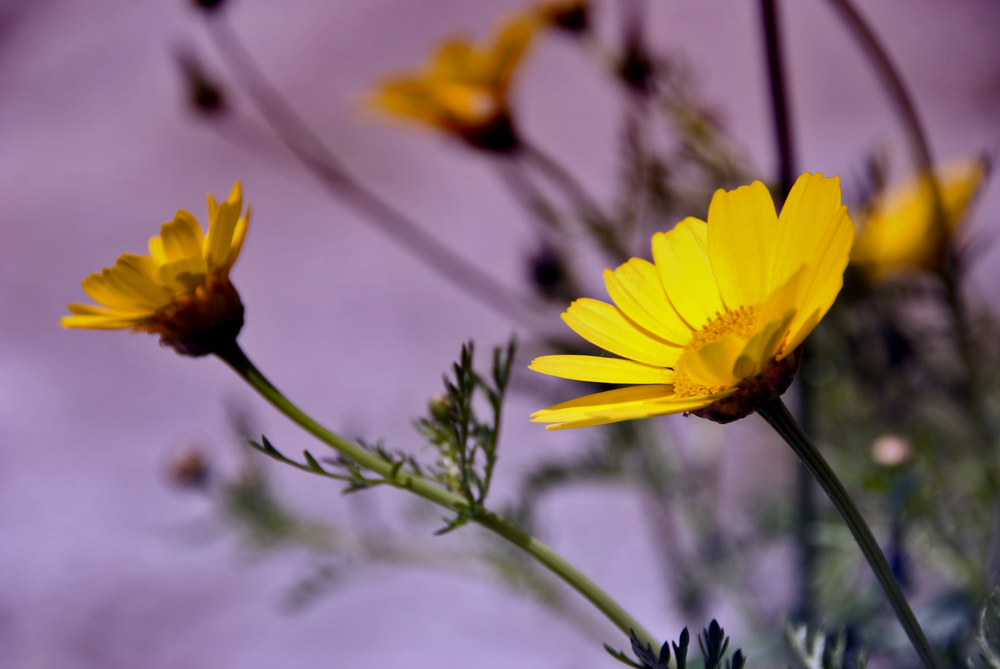 Calendula by Amersill