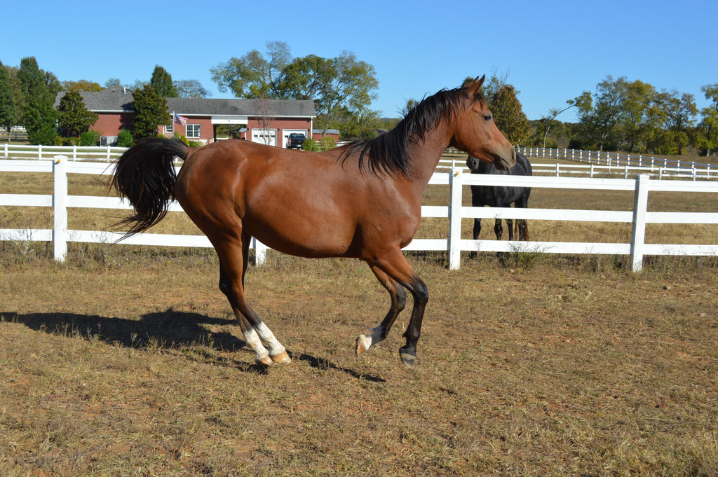 Bay Arab canter by CaballineCreations