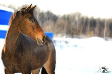 Proserpine - trakehner breed - 2019 by rivkin-nn