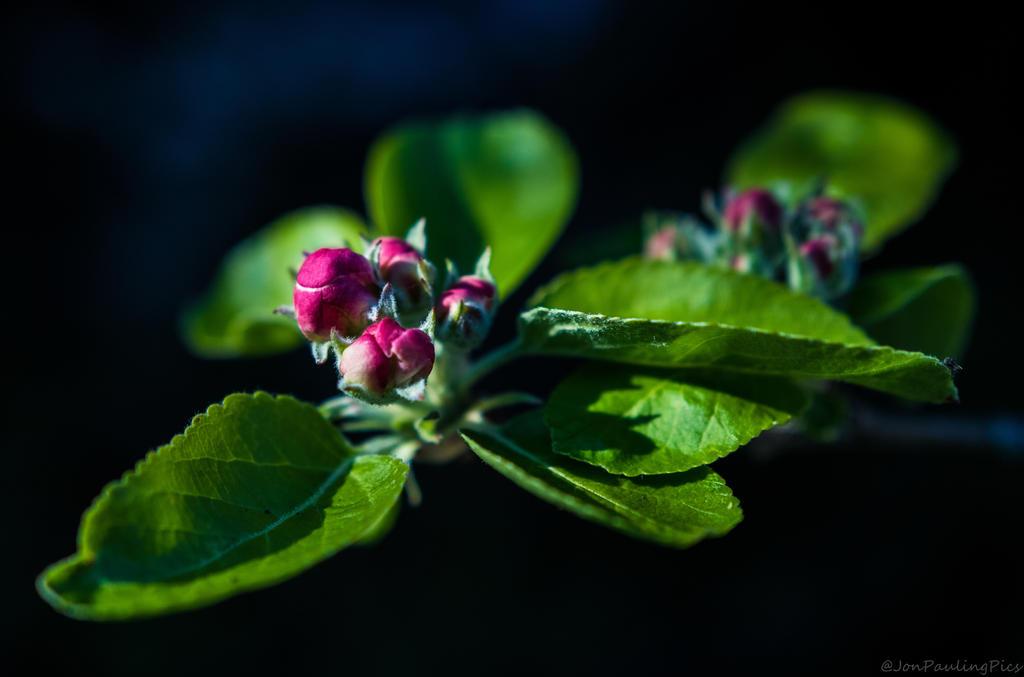 Appleblossom1 by Mincingyoda