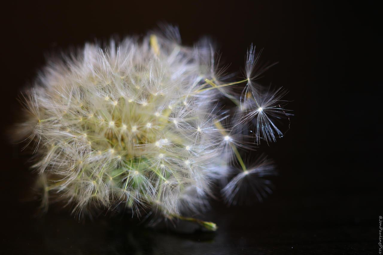 Dandelion by torchlight by Mincingyoda