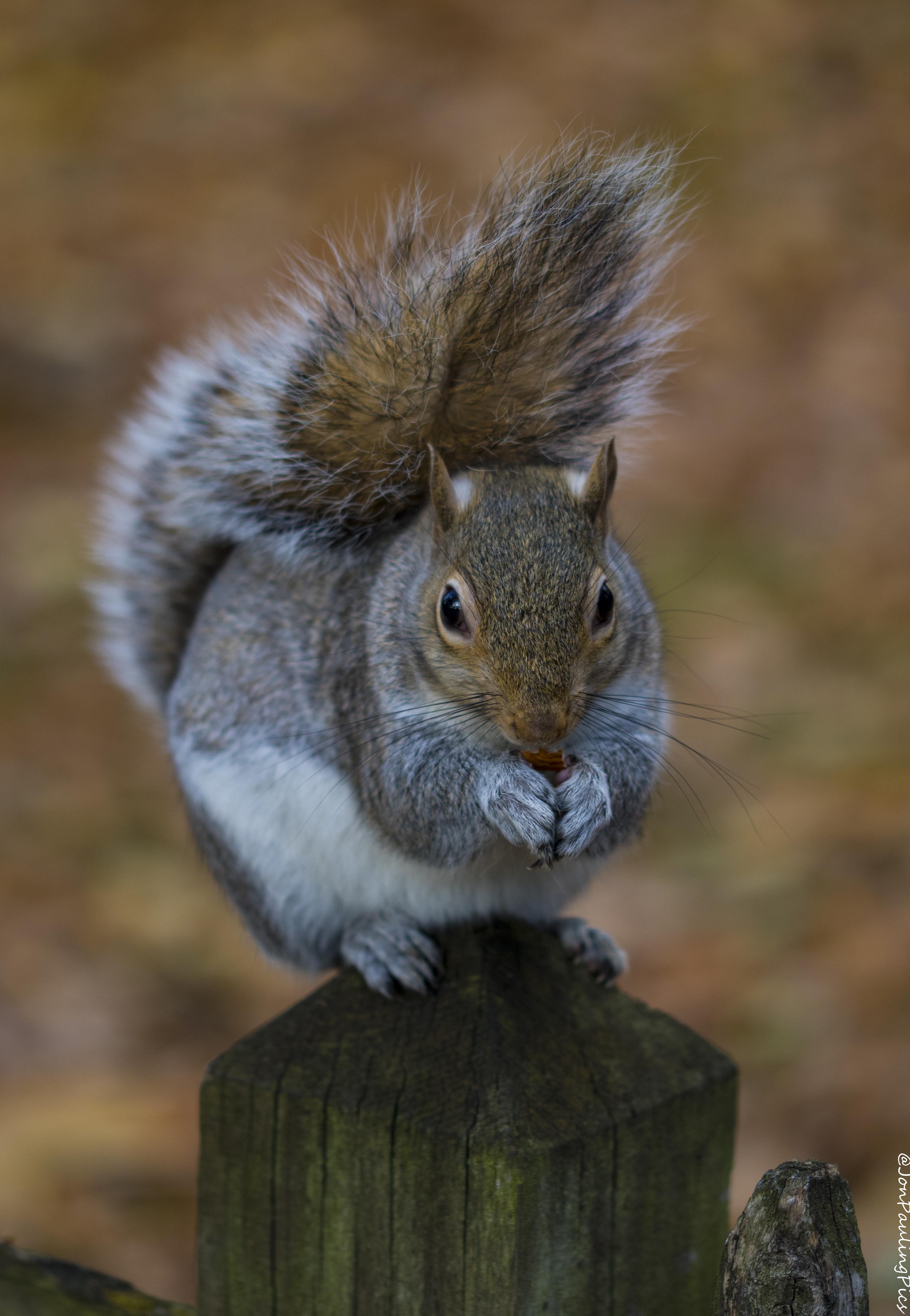 Kyoto Squirrel (3) by Mincingyoda