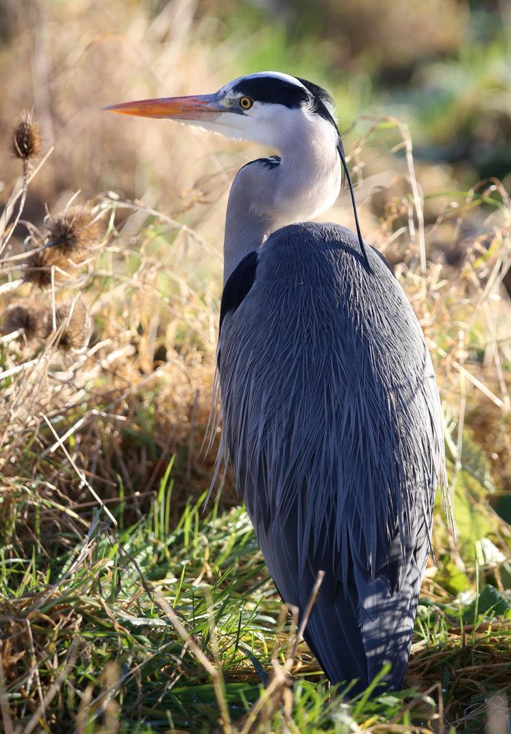 Stalking Heron by Mincingyoda