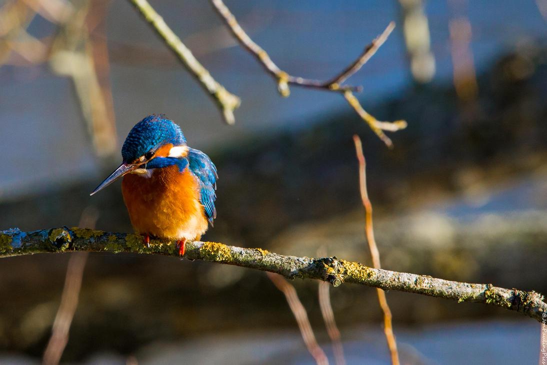 Kingfisher Diaries (2) by Mincingyoda