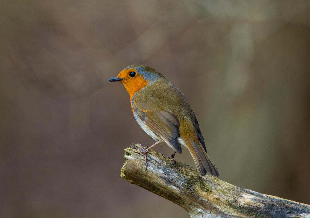 Perched Robin! by Mincingyoda