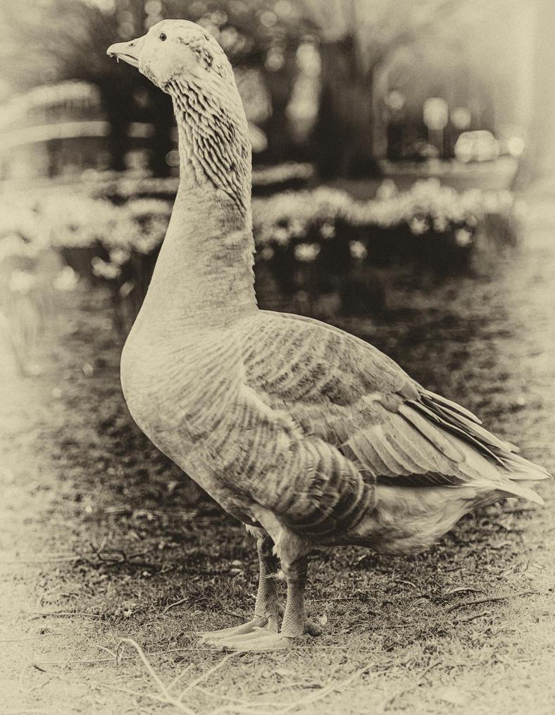 Sepia Goose! by Mincingyoda