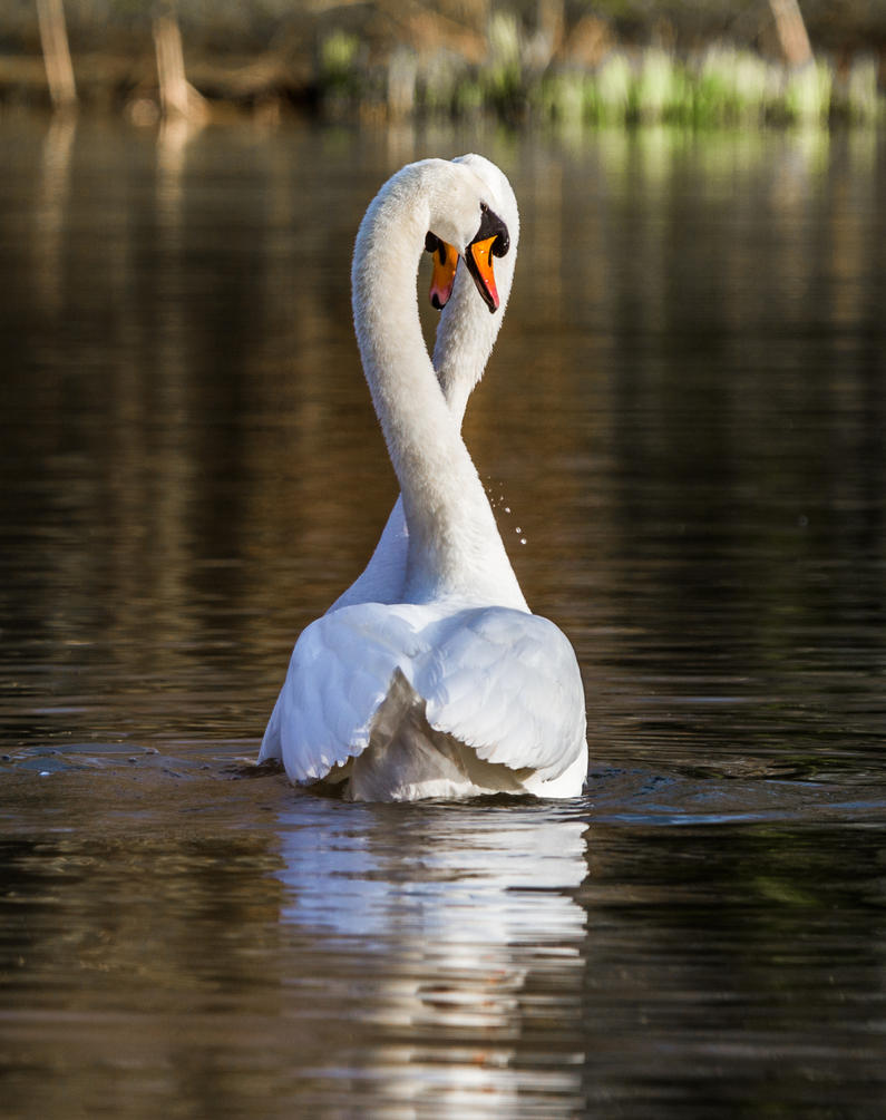 Swan Love! by Mincingyoda