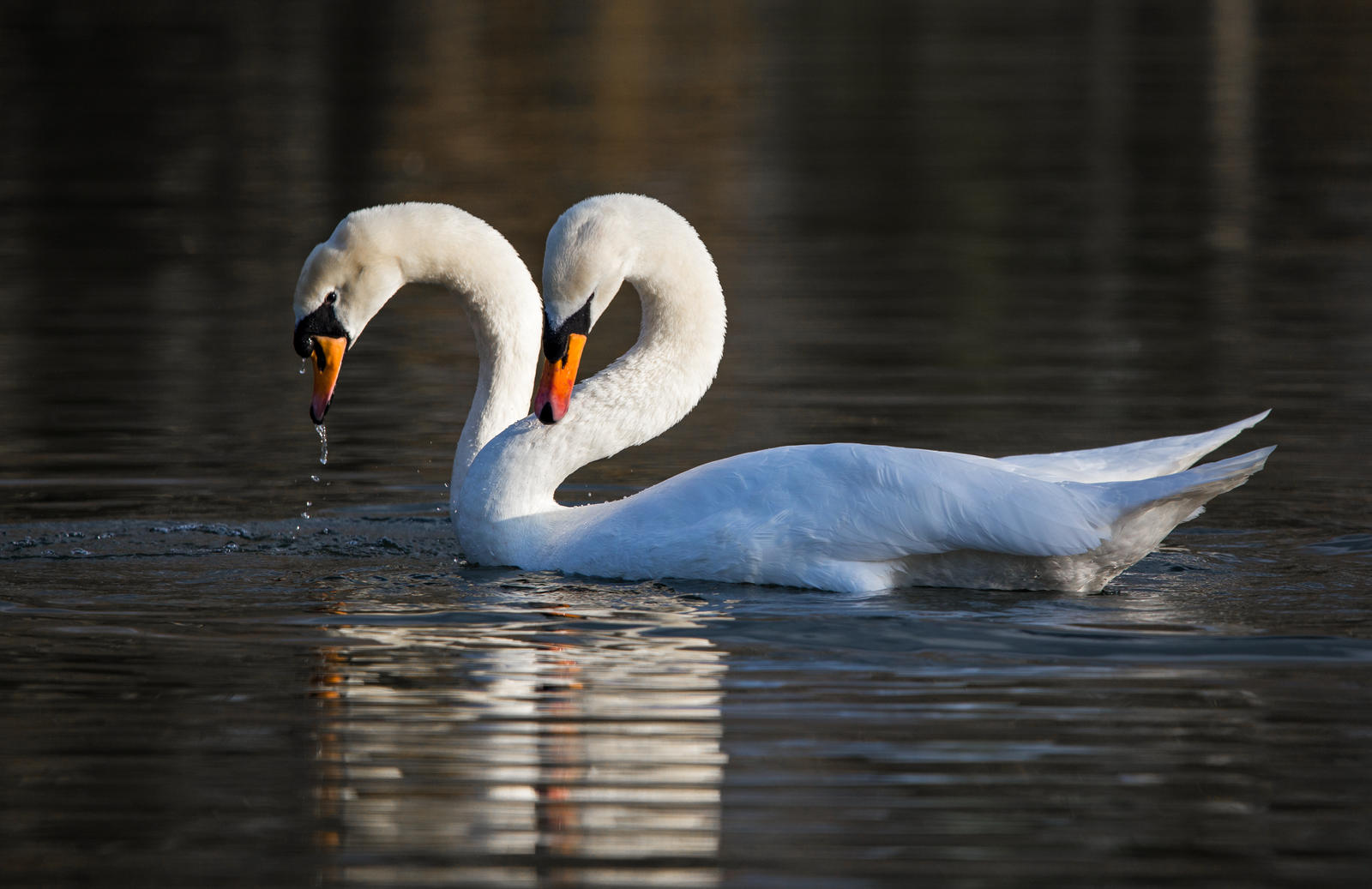 When Two Become Swan..........! by Mincingyoda