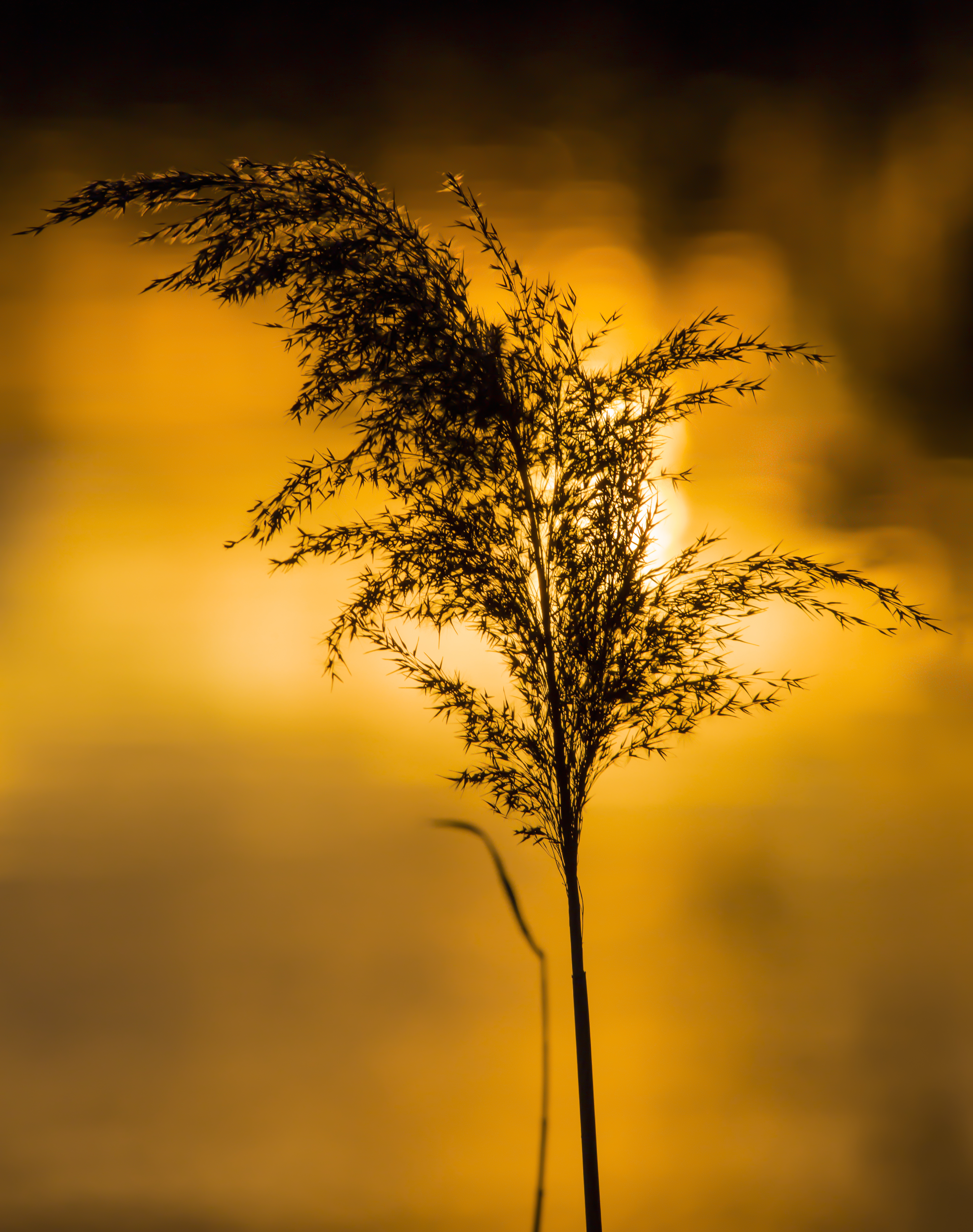 Sunset Reed........! by Mincingyoda