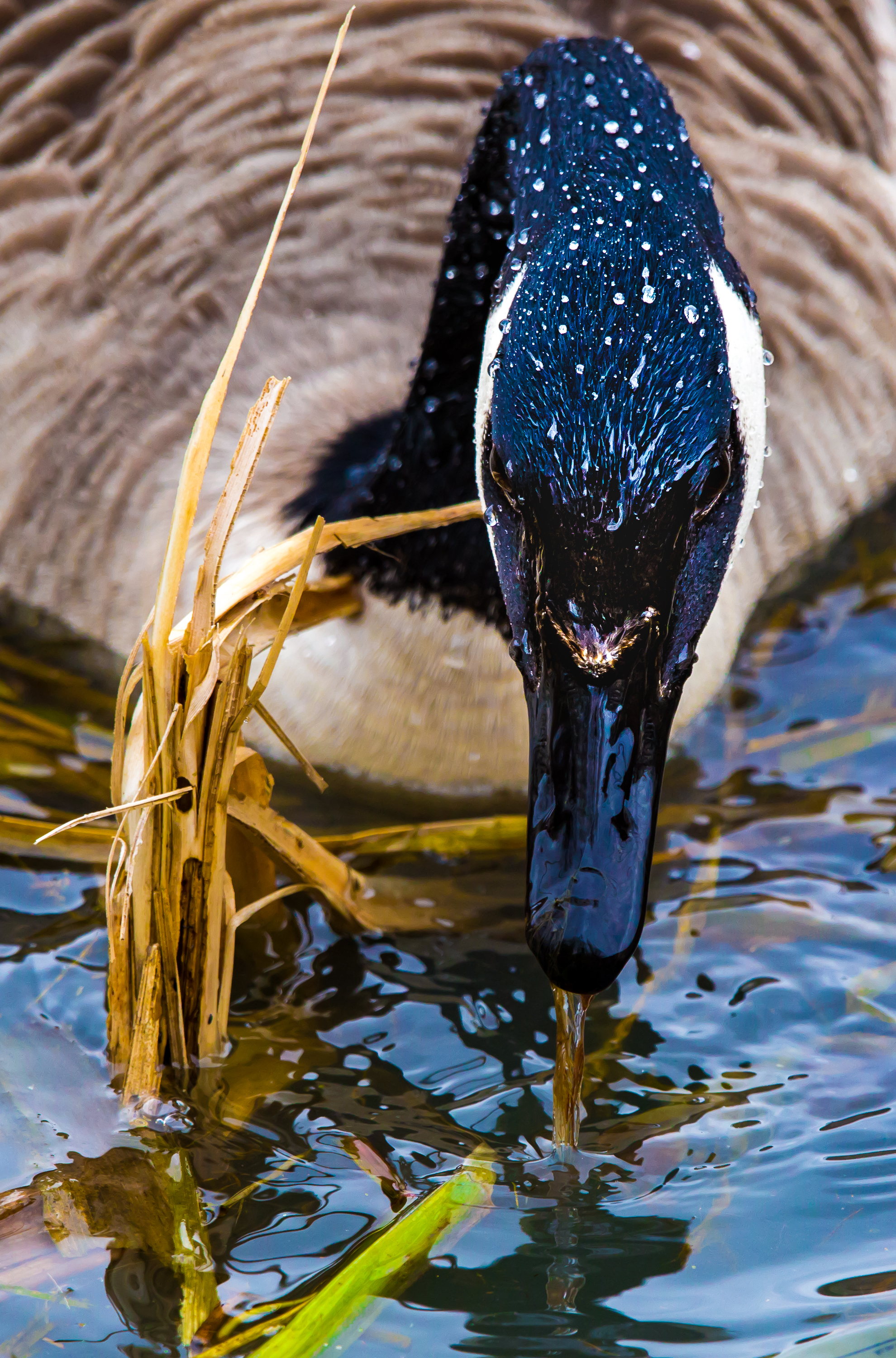 Grouchy Goose? by Mincingyoda