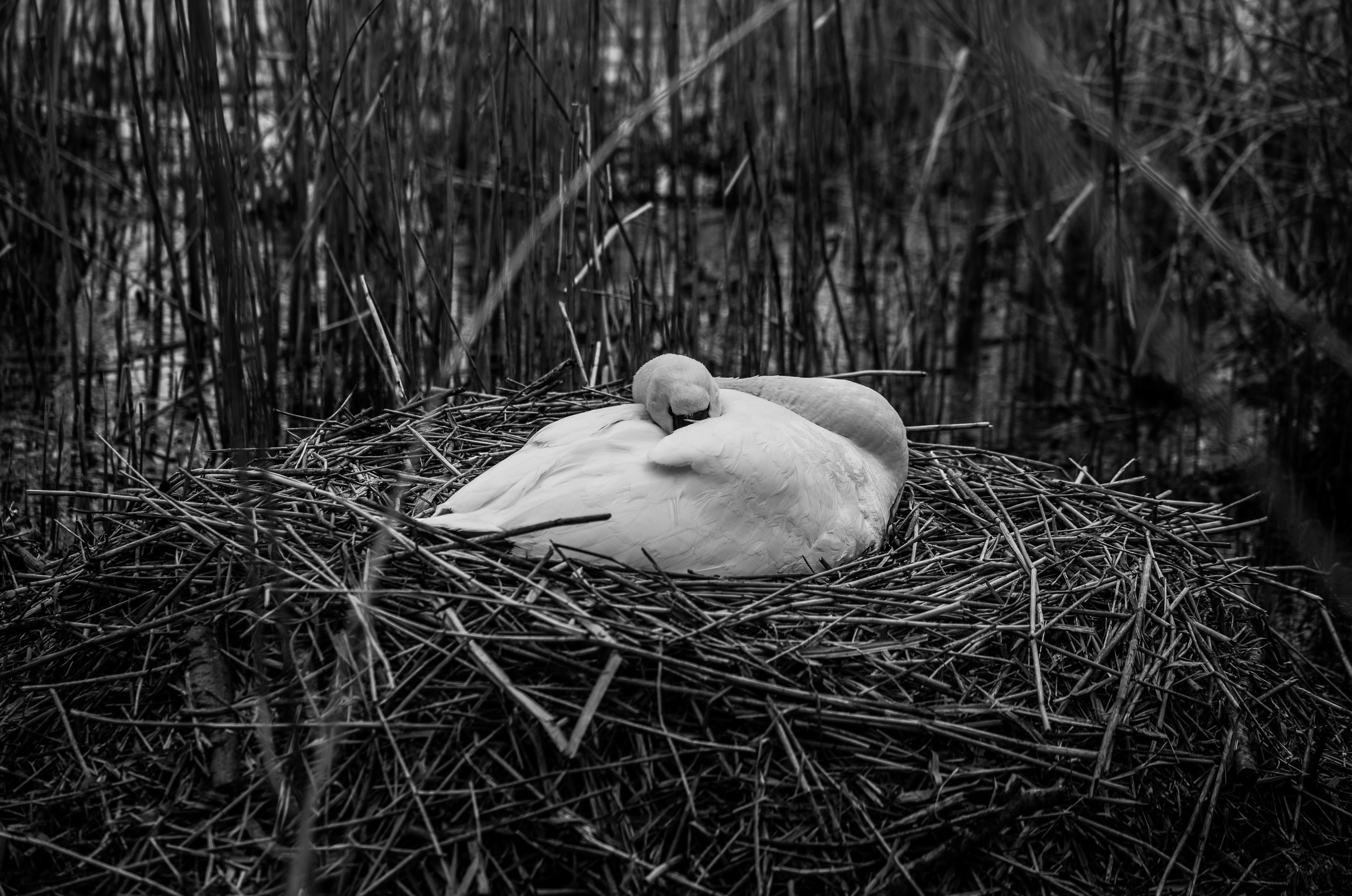 Nesting Swan! by Mincingyoda