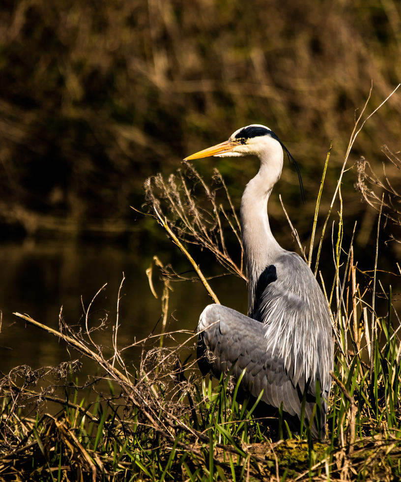 Poised Heron! by Mincingyoda
