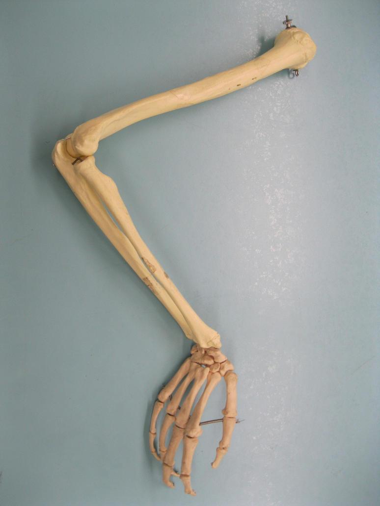 skeletal arm 3 by mistedmadame on deviantart, Skeleton