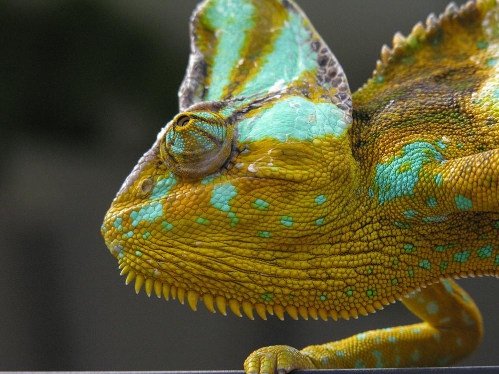 Chameleon by sentinalX