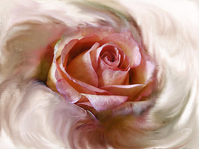 NAISSANCE D'UNE ROSE 1 by BELLESYMPHORINE