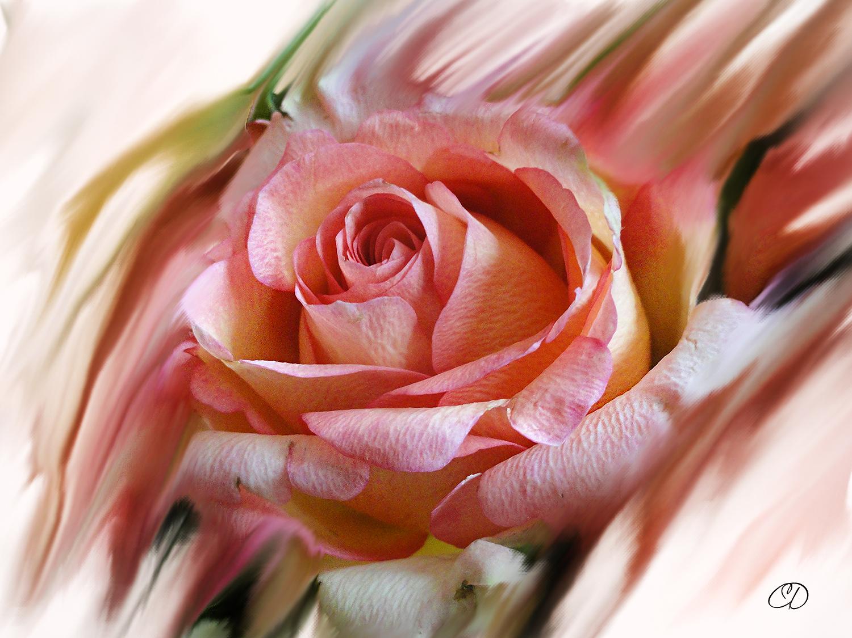 NAISSANCE D'UNE ROSE 3 by BELLESYMPHORINE