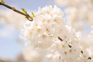 Blossoms 11 by Splippyfop
