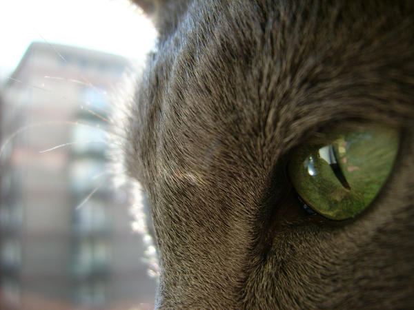 russian blue. by mssunflower