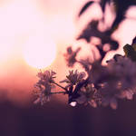 .Lilac.
