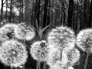 b+w dandelions