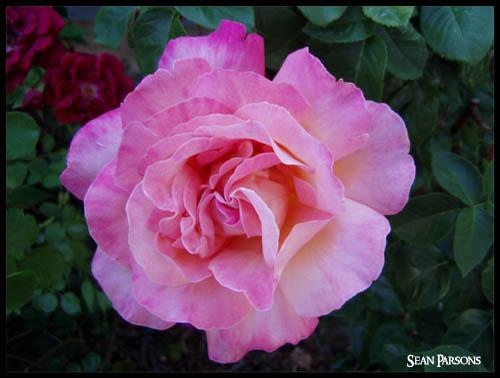 Pink by digitalfreakart