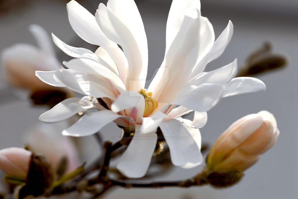 Magnolia by BrianArnoldImaging
