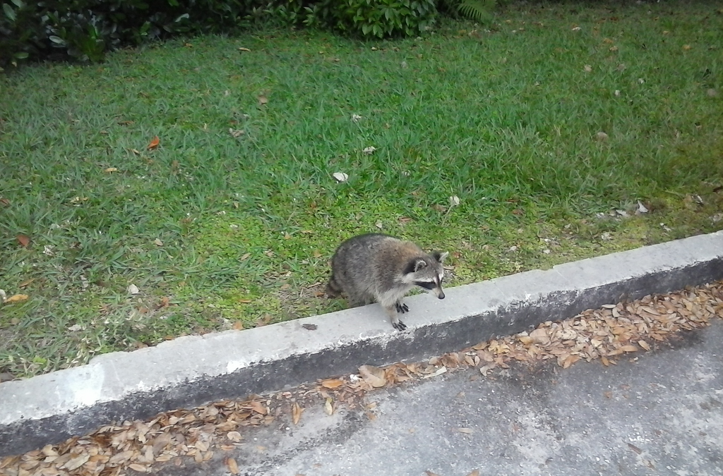 Saw A Raccoon Today. by Lv1Dungeonslime