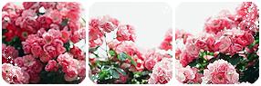 Pink Roses Divider by LaraLeeL