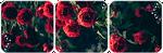 Roses Divider by LaraLeeL