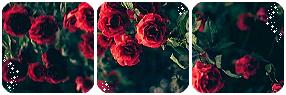 Roses Divider
