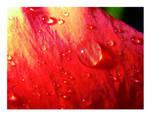 velvet hibiscus by jannaaikadeja