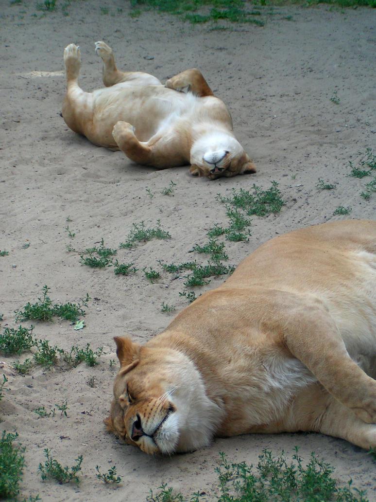 the lion sleeps tonight by bievalhirfoto