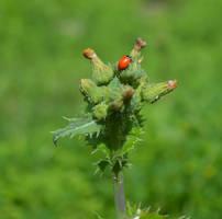 LadyBug II by TexasPanda
